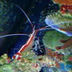 スカンクシュリンプの飼育方法~魚・サンゴとの相性や脱皮時の注意など