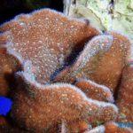 シコロサンゴの飼育方法~成長は早く難易度も低い