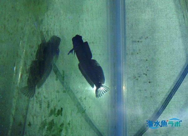 カエルウオは成魚も幼魚も模様がほとんど変わらない