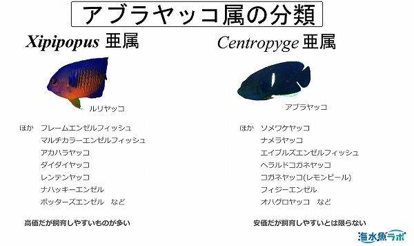 アブラヤッコ属の分類
