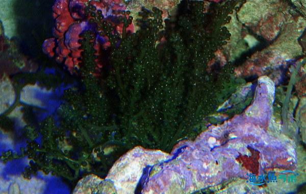 クビレズタ(ウミブドウ)。飼育しやすい緑藻の仲間