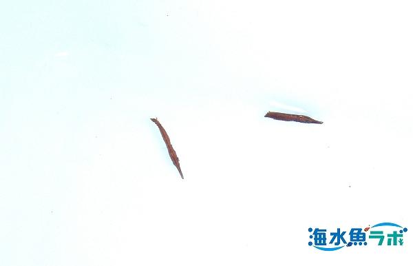 沖縄県で採集したヘコアユの稚魚。親指の爪くらいの大きさで飼育は難しい