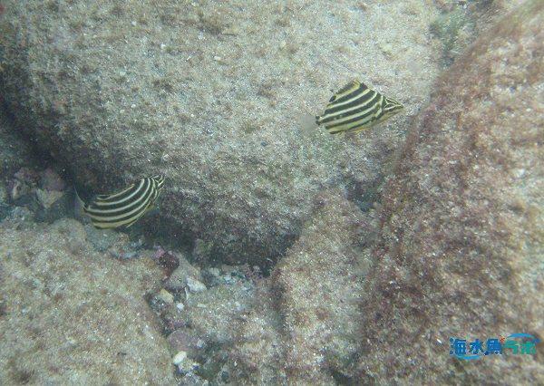 カゴカキダイの幼魚