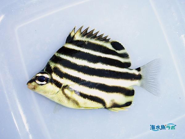 高知県で釣れた掌サイズのカゴカキダイ