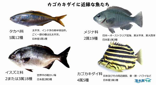 カゴカキダイに近いとされる魚たち