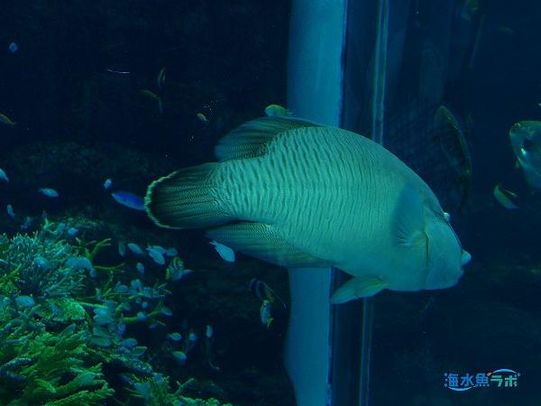 水族館で飼育されているデバスズメダイとメガネモチノウオ