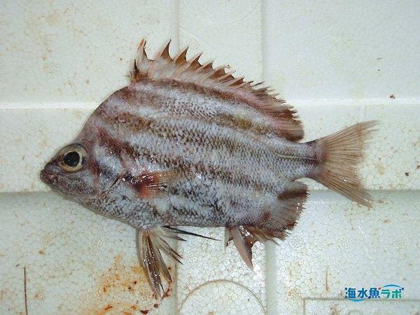 水深100mを超える海底から漁獲されたカゴカキダイ