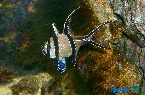 アマノガワテンジクダイ、バンガイカーディナルフィッシュもマンジュウイシモチ族のメンバー。Pterapogon属
