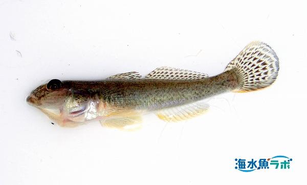 マハゼと同じゴビオネルス亜科の魚