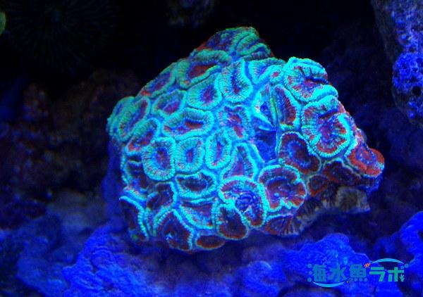 青色LEDのもとで光り輝くカクオオトゲキクメイシ