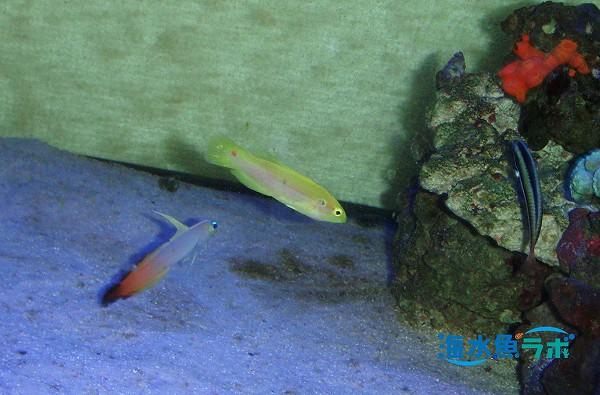 フタホシキツネベラを大型水槽で飼育している例
