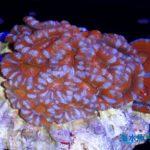 カクオオトゲキクメイシの飼育方法~色彩豊富で人気のサンゴ