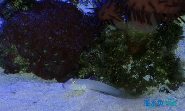 ミズタマハゼの飼育では、水槽の底の方にサンゴは置かないほうがよい