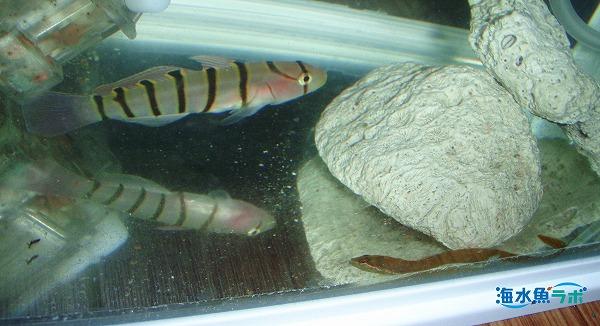 キヌバリとコモンイトギンポの混泳例