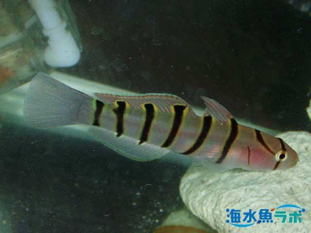 キヌバリの飼育方法~高水温に注意が必要! | 海水魚ラボ
