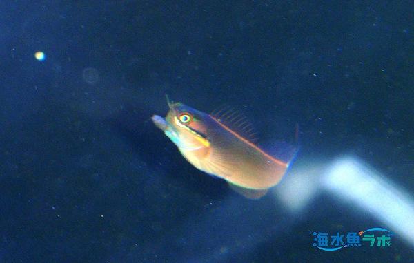 沈降性のペレットフード「海藻70」Mに飛びつくテールスポットブレニー