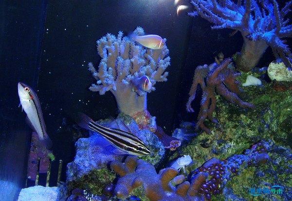 ハナビラクマノミの混泳事例