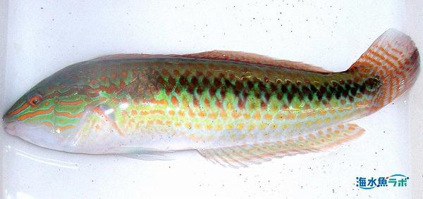 キュウセンの雄。腹部にオレンジ色の点線がある