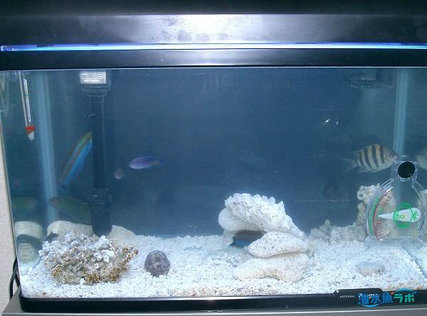 60cm水槽でのニシキベラ飼育例