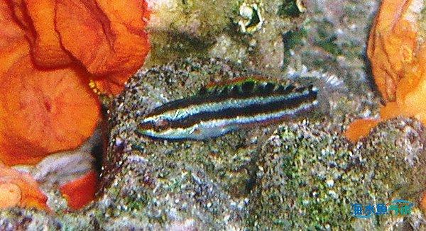 ニシキベラの幼魚