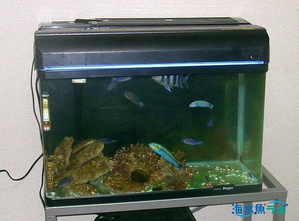 ニシキベラ上部濾過槽での飼育例