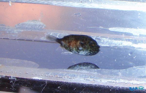 房総で採集したサザナミフグの稚魚。浮遊する海藻についていた