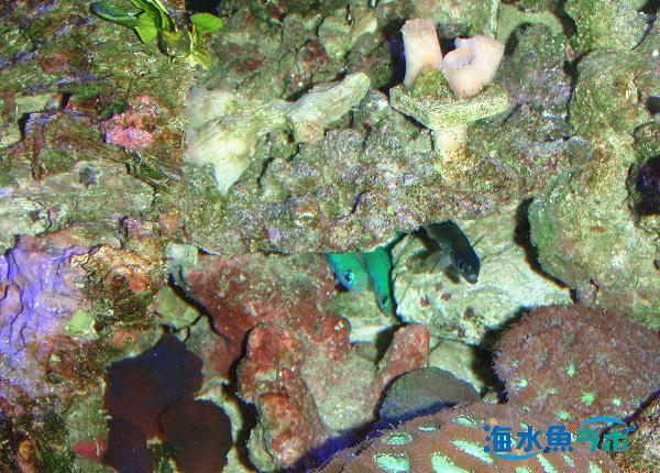 夜間岩の陰で眠るオグロクロユリハゼとゼブラハゼ