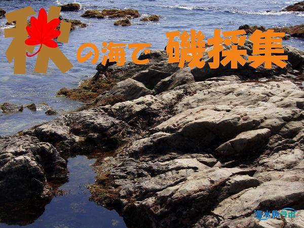 秋の海で磯採集~どんな魚が採れるのか