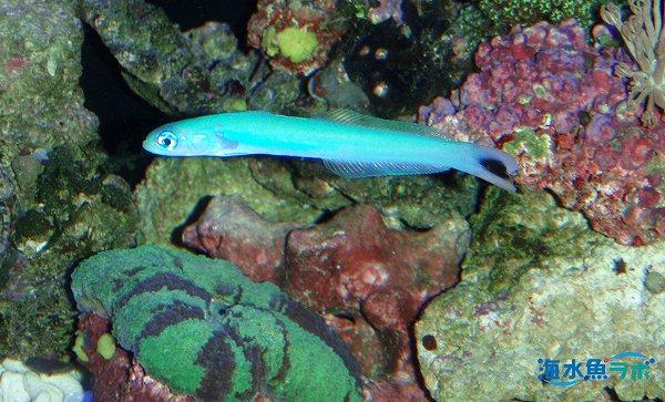オグロクロユリハゼはサンゴとの相性も良い