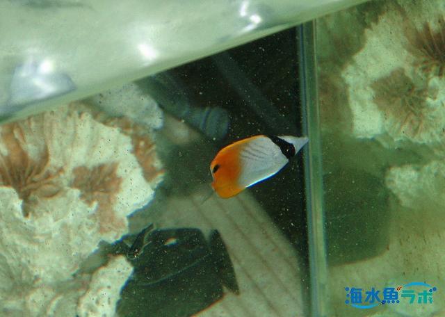 プランクトンフードを食べるトゲチョウチョウウオの幼魚