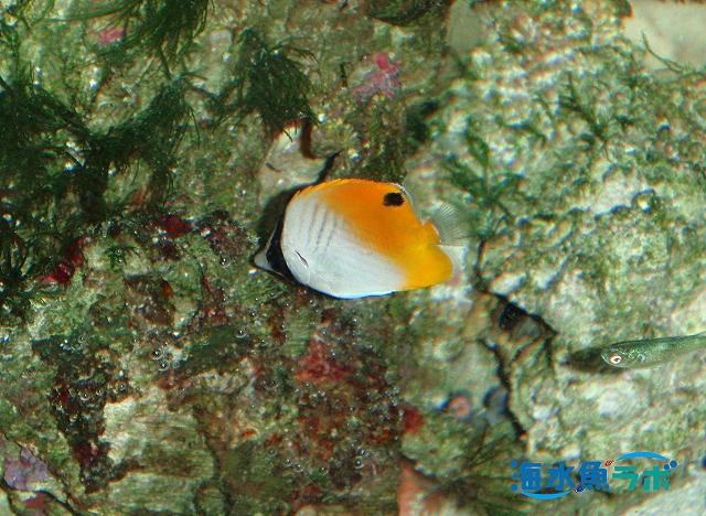 トゲチョウチョウウオの幼魚