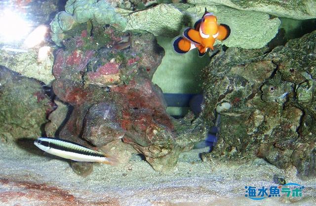 コガシラベラとカクレクマノミとの混泳例