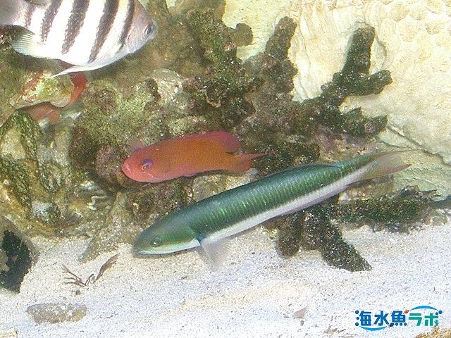 釣りで採集したコガシラベラ