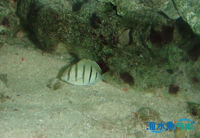 潮溜まりで採集されたシマハギの幼魚