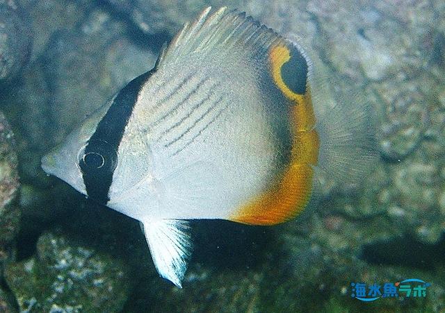 フウライチョウチョウウオの幼魚
