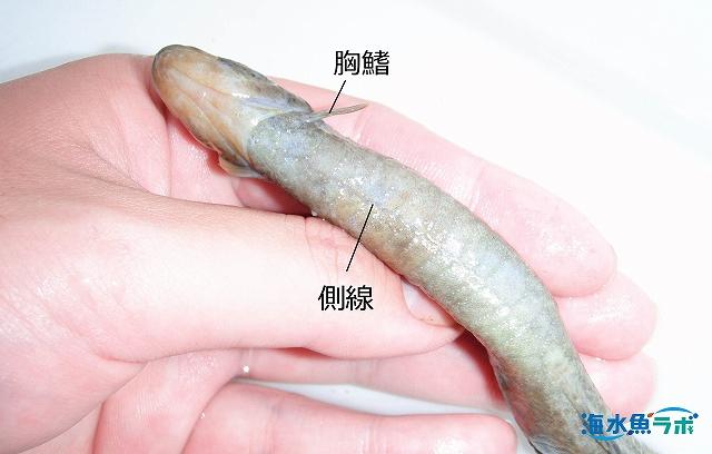 ダイナンギンポ腹面。胸鰭と網目状の側線をもつことがウツボと異なる