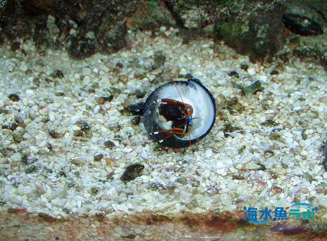 コケ取りの貝を襲い貝殻を得たスベスベサンゴヤドカリ