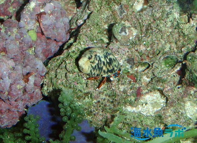潮溜まりで採集したスベスベサンゴヤドカリ