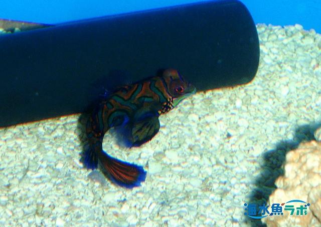 ネズッポの仲間も産卵のときは海底から離れて産卵・放精する