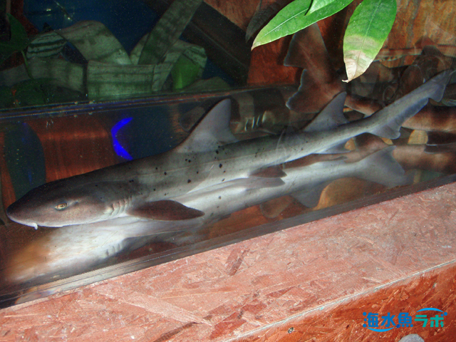 本州~九州に生息するドチザメ。水族館では最もよく見られるサメの仲間