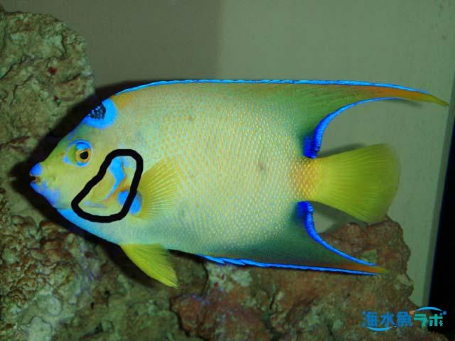 硬骨魚類は鰓孔が1対で、骨はかたい