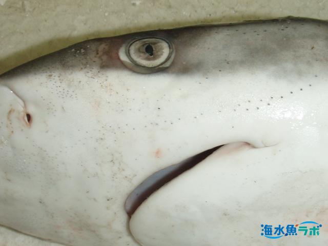 メジロザメ科のサメの頭部。小さい孔が多数みられる