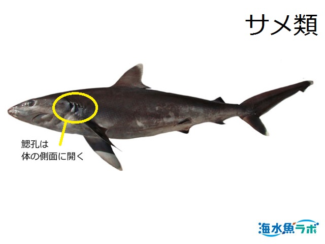 サメ(ツマジロ)の鰓孔は体の側面に開く