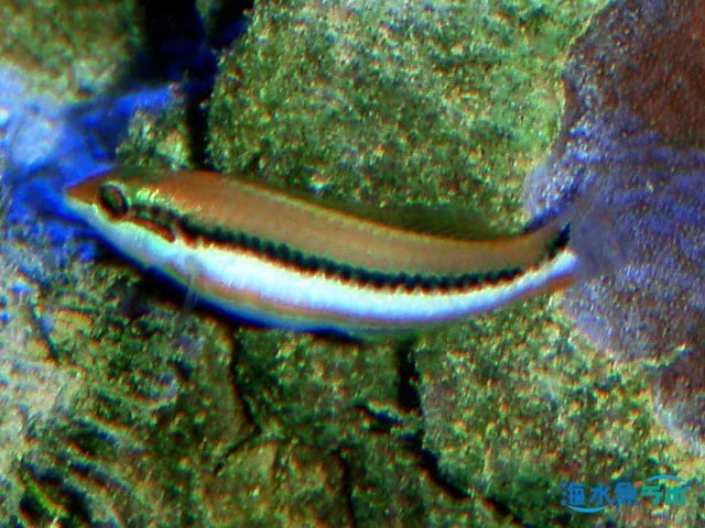 ヤマブキベラの成魚
