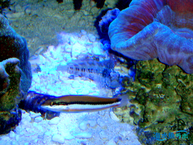 ヤマブキベラの幼魚とヤエヤマギンポの混泳例