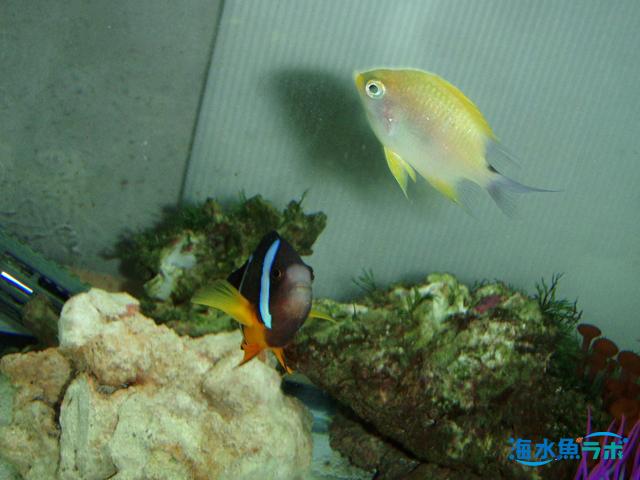 イエローリップダムゼルと他の魚の混泳事例