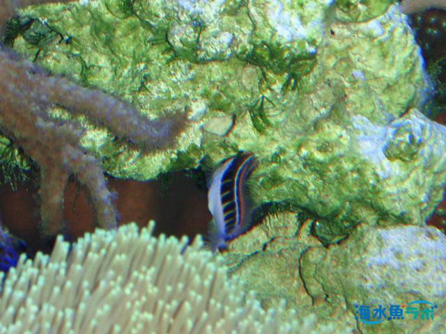 サンゴ岩に付着している藻類を食べるヒトスジギンポ