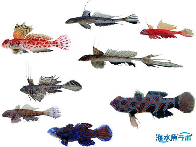 ネズッポ科魚類の分類