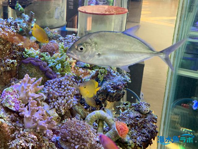 アジの仲間が海水魚水槽で飼育しにくい理由 | 海水魚ラボ